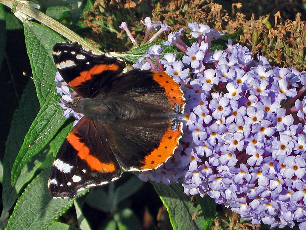 butterfly bord altan